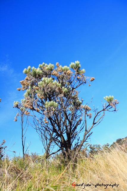 Bunga abadi, Edelweiss