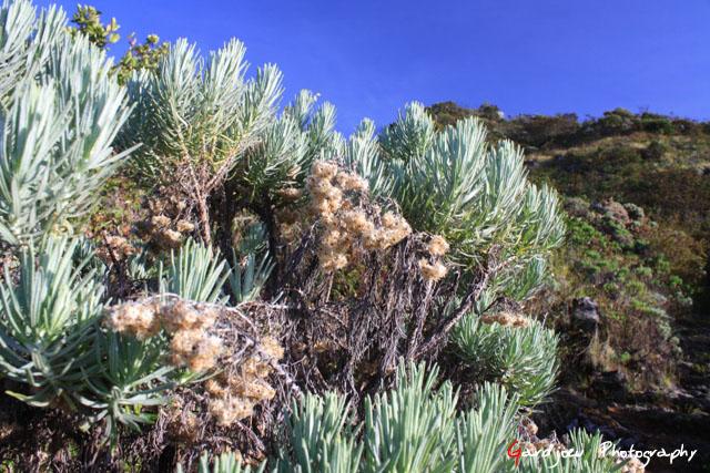 Edelweiss di Puncak Lawu
