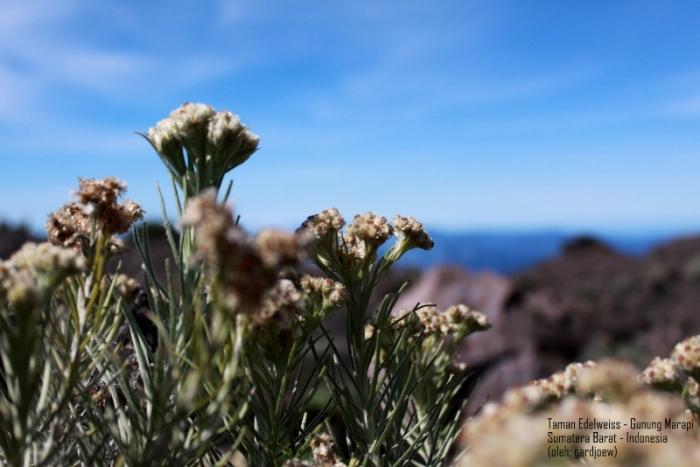 taman edelweiss di puncak Marapi